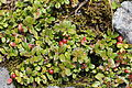 Vaccinium vitis-idaea (Mount Ontake).JPG