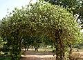 Vallaris solanacea (Vish Vallari) in Hyderabad W IMG 8239.jpg