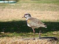 Vanellus Chilensis(Hernan Fernandez).JPG