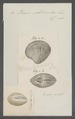 Venus crebrisulca - - Print - Iconographia Zoologica - Special Collections University of Amsterdam - UBAINV0274 077 12 0011.tif