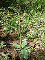 Verbascum phoeniceum sl14.jpg