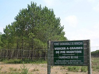Seed orchard - Seed orchard in Mimizan, Landes, France