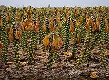 Chou de bruxelles wikip dia - Choux de bruxelles plantation ...