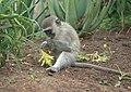 Vervet Monkey Eating (6623581299).jpg