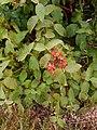 Viburnum lantana, familija Sambucaceae 02.jpg
