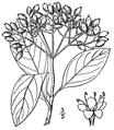 Viburnum nudum.png
