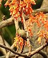 Vigor's Sunbird Aethopyga vigorsii female DSCN0125 (4).jpg