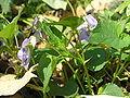 Viola riviniana1.JPG