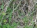 Vipère péliade femelle (Vipera berus).jpg