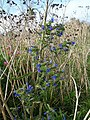 Viper's bugloss (Echium vulgare) on Walmer beach - geograph.org.uk - 237224.jpg