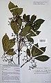 Vitex lokundjensis-2003-Herbier du jardin botanique Meise (1).jpg