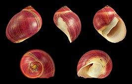 Vittina waigiensis 03.JPG
