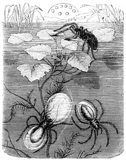Japanese water spider