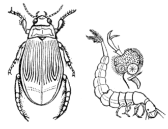 Aquatic insect - A water beetle
