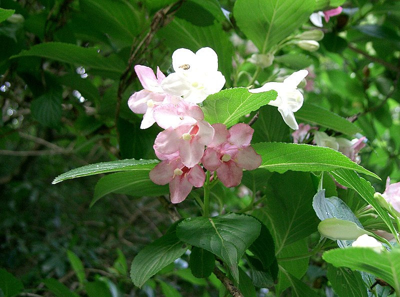 https://upload.wikimedia.org/wikipedia/commons/thumb/3/34/Weigela_coraeensis1.jpg/800px-Weigela_coraeensis1.jpg