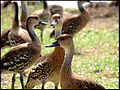 West Indian Whistling Ducks.jpg