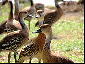 A group of West Indian whistling ducks