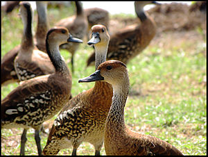 West Indian whistling duck - West Indian whistling ducks