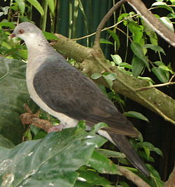 White-headed pigeon.JPG