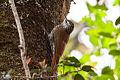 White-striped Woodcreeper (Lepidocolaptes leucogaster) (8079381062).jpg