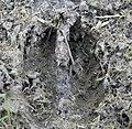 White-tailed Deer Track (22818823444).jpg