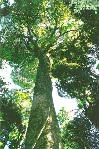 Gondwana Rainforests - Image: White Beech Tooloom