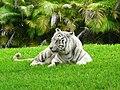 White Bengal tiger Miami MetroZoo.jpg