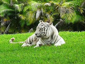 Zoo Miami - Carlita, a white Bengal tiger, was an iconic showcase of the zoo for nearly two decades.