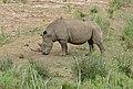White Rhino (Ceratotherium simum) female (31424842724).jpg