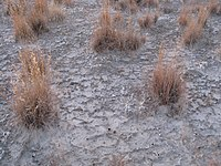 White Sands vegetation in cryptobiotic crust.jpg