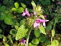 Wild Basil (Clinopodium vulgare) (7684067354).jpg