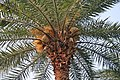 Wild Date Palm (Phoenix sylvestris) tree with male flowers at Narendrapur W IMG 4063.jpg