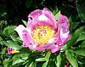 Wild Peony. (Paeonia mascula^) - Flickr - gailhampshire.jpg