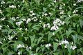 Wild garlic, Arran 03.jpg