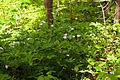 Wild geranium (24732854510).jpg