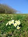 Wild primroses at Gribbin - geograph.org.uk - 1231726.jpg