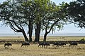 Wildebeests are seen in Ngorongoro Crater in Tanzania Nov. 15, 2013 131115-N-LE393-050.jpg