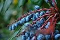 Wojsławice, arboretum, Mahonia japonica, plody III.jpg