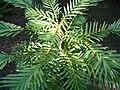 Wollemia nobilis HRM.jpg