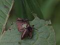 Wollkäfer (Tenebrionidae- Lagria hirta) (7187956648).jpg