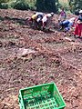 Women Planting Onions 01.jpg