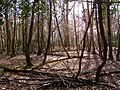 Woodland on Honey Hill, New Forest - geograph.org.uk - 145224.jpg