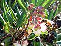 Xylococcus bicolor 900 48.jpg