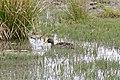 Yellow-billed Duck (Anas undulata) (32208110340).jpg