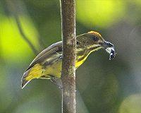 Yellow-breasted Flowerpecker (Prionochilus maculatus).jpg