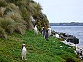 Yellow-eyed Penguins Auckland Islands.jpg
