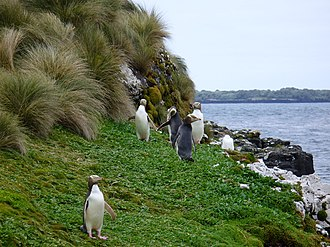 Yellow-eyed penguin - On the shore of Enderby Island, Auckland Islands
