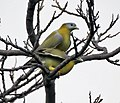 Yellow-footed Green Pigeons (Treron phoenicoptera)- chlorigaster race- Mating at Sultanpur I IMG 4984.jpg