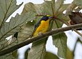 Yellow-throated Euphonia 2495400933.jpg