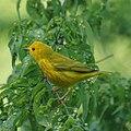 Yellow Warbler (7098680547).jpg